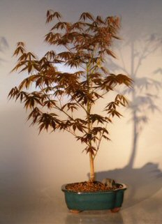 Japanese Red Maple Bonsai Tree - Large<br><i>(Acer Palmatum Atropurpurea)</i>