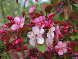 Flowering Crabapple Bonsai Tree Malus Sargenti