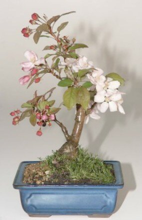 Flowering Crabapple  (Malus Sargenti)