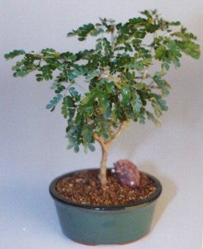 Texas ebony medium pithecolobium flexicaule