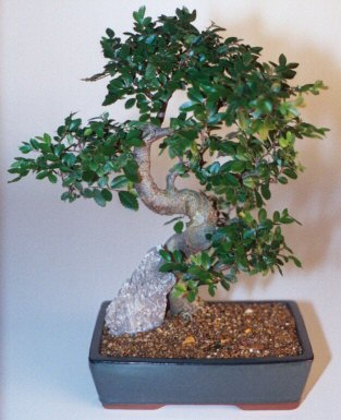 Chinese Elm Bonsai Tree - Extra Large <br>Curved Trunk Style <br><i>(Ulmus Parvifolia)</i>