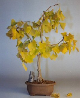 Ginkgo Bonsai Tree<br><i>(ginkgo Biloba)</i>