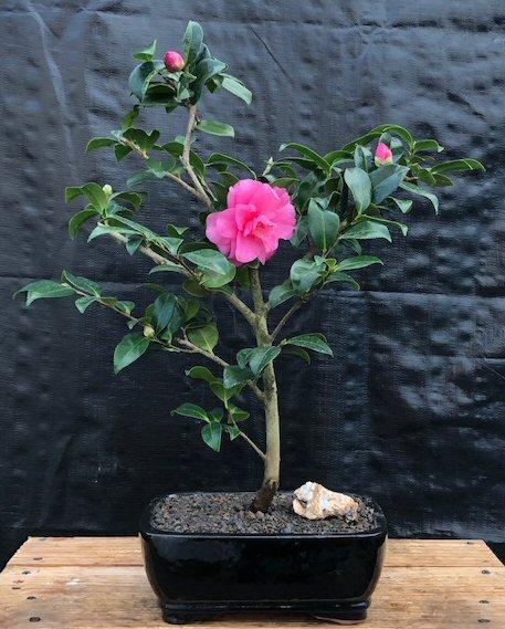 Flowering Camellia Sasanqua Bonsai Tree (Shishi Gashira)