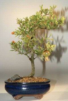 Flowering Amp Fruiting Dwarf Pomegranate Medium Punica