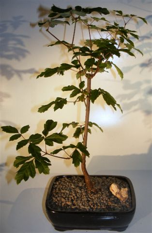 Paperbark Maple Bonsai Tree (acer griseum) Image