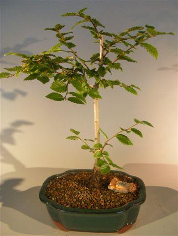 Korean Hornbeam Bonsai Tree (carpinus coreana) Image