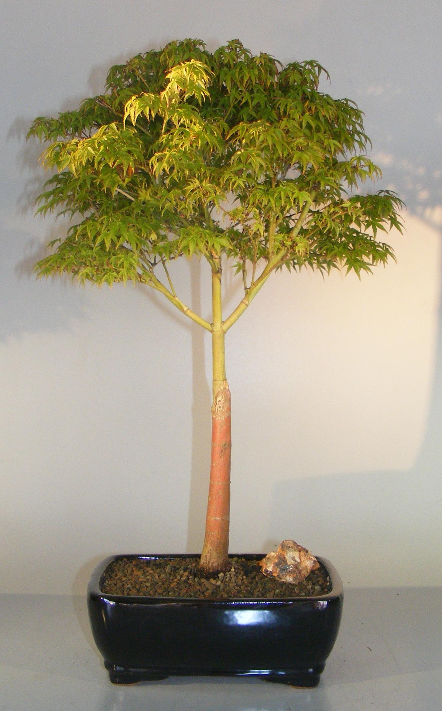 Dwarf Japanese Maple Bonsai Tree (acer palmatum 'Capercis Dwarf') Image