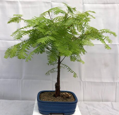 Redwood Bonsai Tree Medium Metasequoia Glyptostroboides