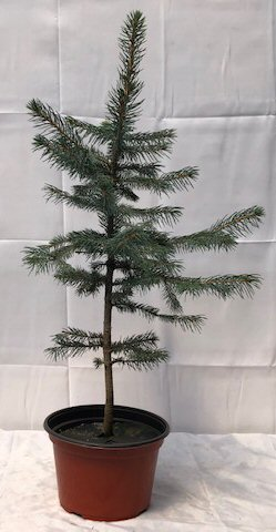 Pre Colorado Blue Spruce Bonsai Tree Picea Pungens