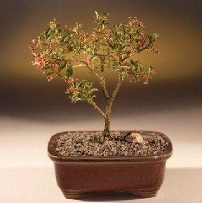 Barbados Cherry Bonsai Tree (Small)(malpighia Pendiculata) Image