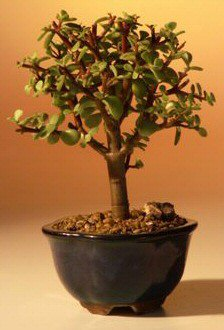 Baby Jade Bonsai Tree - Small  Portulacaria Afra