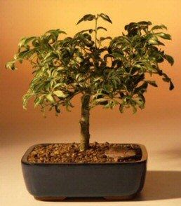 Golden Hawaiian Umbrella Bonsai Tree - Medium (arboricola schefflera)