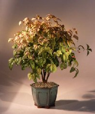 Flowering Heavenly Bamboo Bonsai Tree <br><i>(nandina domestica 'compacta')</i>