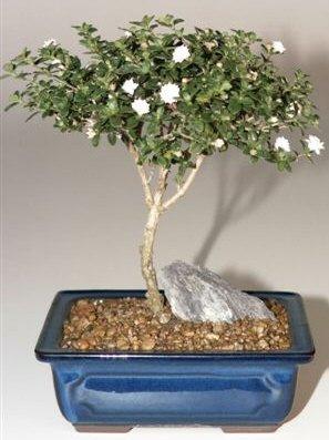Snow rose serissa bonsai tree mediumserissa foetida mightylinksfo