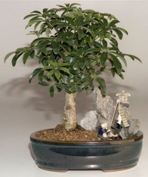 Hawaiian Umbrella Bonsai Tree<br>Stone Landscape Scene<br><i>(Arboricola Schefflera