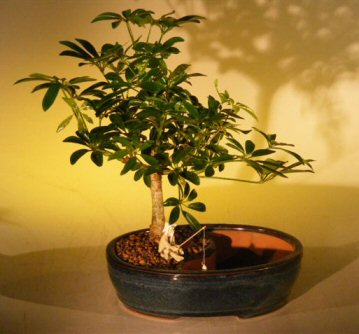 Image: Hawaiian Umbrella Bonsai Tree Water/Land Container - Medium  (arboricola schefflera)