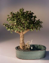 Baby Jade Bonsai Tree<br><i></i>Water/Land Container - Medium<br><i>(Portulacaria Afra)</i>