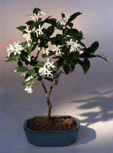 Flowering White Jasmine