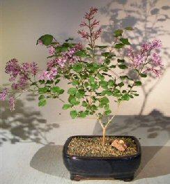 Korean Lilac Bonsai Tree (syringa palabiniana)