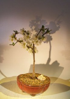 Japanese Flowering Quince Bonsai Tree (chaenomles 'toyo-nishiki')