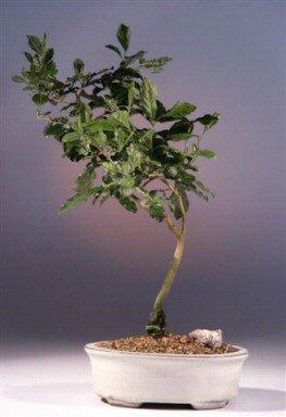Princess Persimmon Bonsai Tree Diospyros Rhombifolia