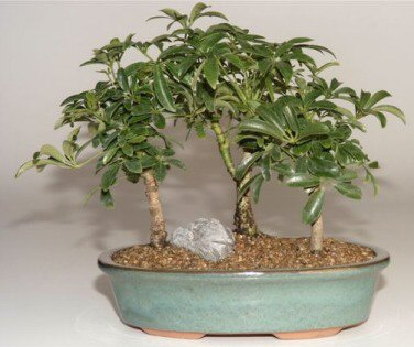 Hawaiian Umbrella Bonsai Tree - 3 Tree Forest Group (Arboricola Schefflera)