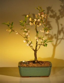 Japanese Flowering Cherry Bonsai Tree (prunus serrulata) Cherry, Cherries, Cherry Tree, Cherry Trees, Cherries Tree, Bush Cherry, Dwarf Cherry, Fruit Trees