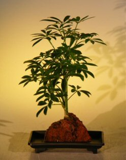 FREE SHIPPING ON THIS TREE Hawaiian Umbrella Bonsai Tree - In Lava Rock - Small (arboricola schefflera 'luseanne')