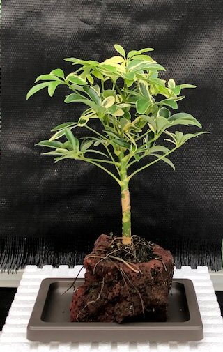 Hawaiian Umbrella Bonsai Tree - Gold - In Lava Rock - Small (arboricola schefflera 'luseanne' variegata)