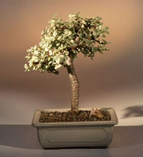 FREE SHIPPING ON THIS TREE Baby Jade Medium Bonsai Tree - Variegated (portulacaria afra variegata)