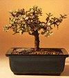 Baby Jade - Variegated (portulacaria afra variegata)