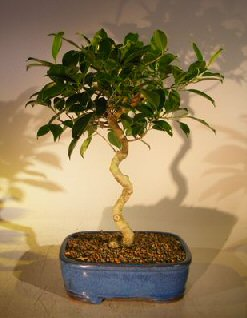 Ficus Bonsai Tree - Curved Trunk (ficus exotica)
