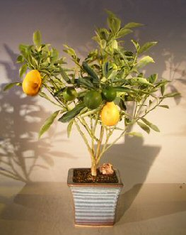 Kumquat Bonsai Tree - Variegated<br><i>(fortunella japonica