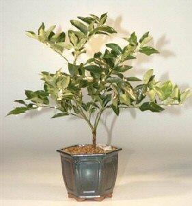 Image: Limequat Bonsai Tree (limequat eustis)