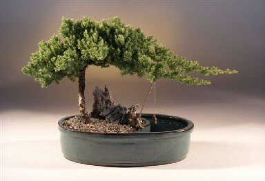 Juniper in a Water Bonsai Pot  - Large<br><i>(juniper procumbens nana)</i>
