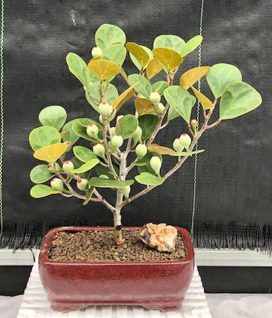 Mistletoe Fig Bonsai Tree (ficus diversifolia)