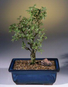 Cork bark elm ulmus neri outdoor bonsai trees