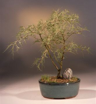 Laceleaf Weeping White Birch Bonsai Tree (betula pendula 'trosts dwarf')