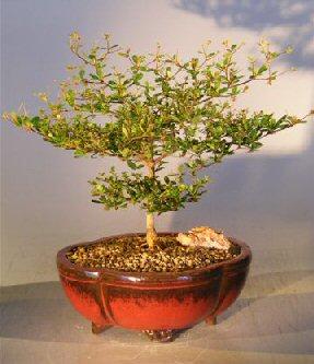 Black Olive Bonsai Tree Bucida Spinosa