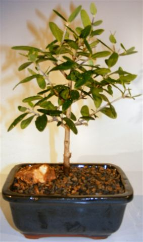 "Olive Bonsai Tree (olea europaea ""little ollie"")"