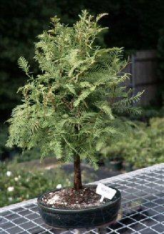 Redwood Bonsai Tree  (metasequoia glyptostroboides)