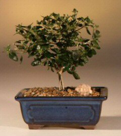Flowering White Serissa Bonsai Tree- Small-Bonsai Tree of a Thousand Stars (serissa japonica)