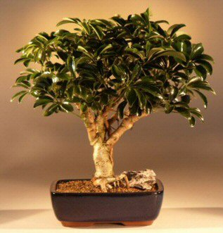 Hawaiian Umbrella Bonsai Tree - Large<br><i>(arboricola schefflera