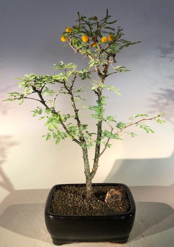 Flowering Sweet Acacia Bonsai Tree<br><i>(acacia farnesiana)</i>