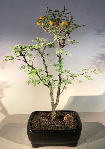 Flowering Dwarf Sweet Acacia Bonsai Tree Acacia Farnesiana