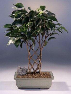 Ficus Bonsai Tree - Trellis Style (ficus 'midnight')