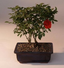 Flowering Mini Rose Tiny Red