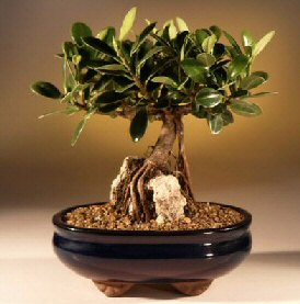 Green Emerald Ficus Bonsai Tree-Root over Rock (ficus microcarpa)