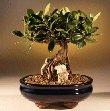 Green Emerald Ficus Bonsai Tree-Root over     Rock<br><i>(ficus microcarpa)</i>