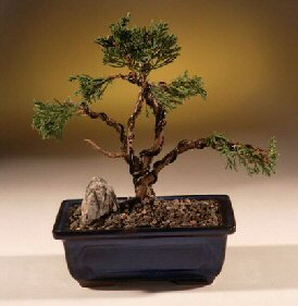 Image: Shimpaku Juniper Bonsai Tree - Trained (juniper chinensis)